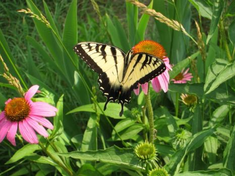 Swallowtail on echinacea cone flower