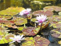 Lovely water lillies.