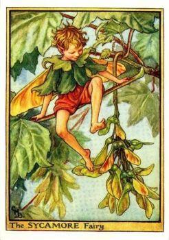 Sycamore fairy