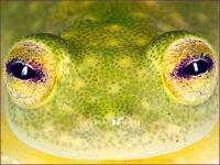 Glass Frog Hyalinobatrachium