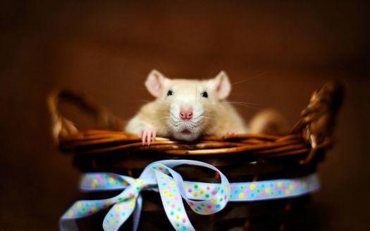 Patkányt ajándékba