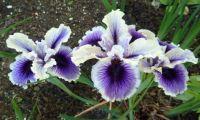 Pacific Coast hybrid iris 'Sea Admiral'