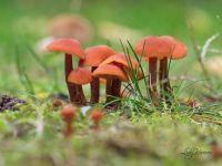 fungus/mushroom