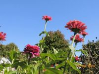 Really tall zinnias