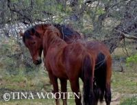 Wild Stallions from Salt River in National Tonto Forest.AZ