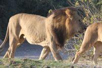 LION IMG_9890
