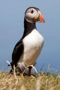 Puffin Treshnish Isles