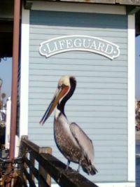 Pelican at Oceanside CA
