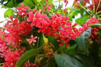 Red Blossoms in India