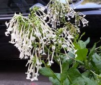 Unusual white flowers