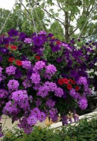 Stunning Shades of Purple and Red Hanging Basket.