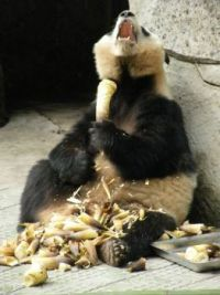 Panda sweet tooth...so good