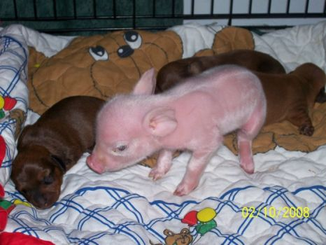 Forget getting an Easter bunny, I want an Easter piglet...