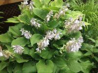 Hosta in full bloom