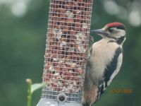Juvenile Greater Spotted Woodpecker in the rain.