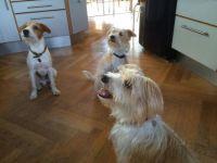 Carlo, Agnes og Selma - 3 søde Kromfohrländere