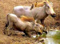 Warthogs with young at Nkorho