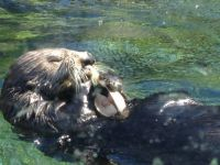 sea otter at lunch