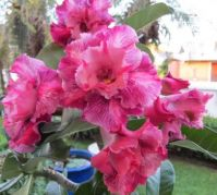 Maggies desert rose