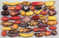 Variety of potatoes found in Peru