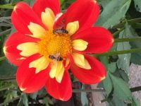 2 bees in a dahlia