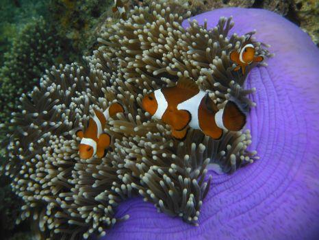 Clownfish. El Nido, Philipines