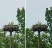 Vondelpark storks update #4: three thriving young ones :-)))