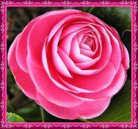 Pink Camellia.