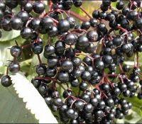 a bunch of elderberries