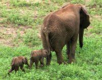 Elephant twins, most rare