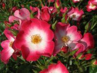 Rožni grm - A rose bush / At the Volčji Potok Arboretum