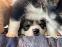 Pillow and Blanket Pups