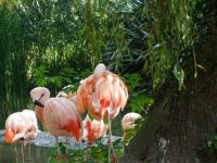 Flamingos at Durrell Conservation Trust