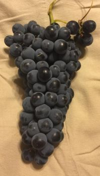 Thomcord Grape Bunch