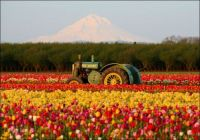 Tulips Growing Near Seattle, Washington