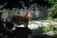 Siberian Tiger behind Shadows