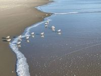 Cute Little Sandpipers