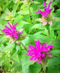 Deep Pink Monardo or Bee Balm