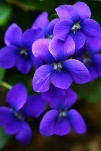 3  ~  Lavender Purple Violets.