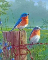 WONDERFUL WESTERN BLUE BIRDS