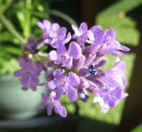 Lavender flower (close up)