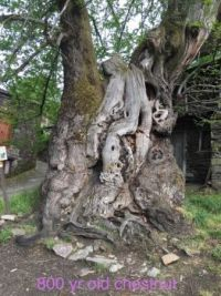 800 year old Chestnut