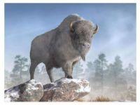 White Buffalo In Winter