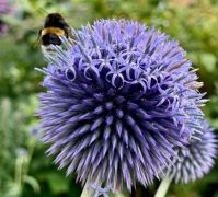 Blossom from top to bottom -blue globe-thistle