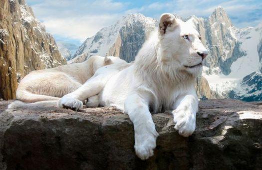 Majestic -Albino lion