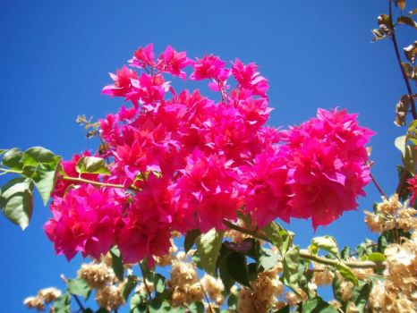Bougainvillea in Hawaii