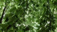 Looking up in the beech forest