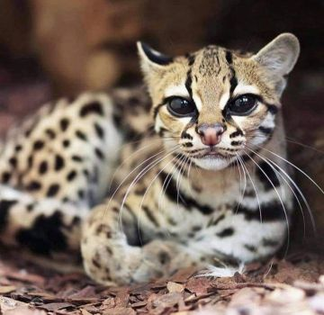 Margay, cat. extremely rare