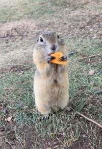 A ground squirrel eating a Chez It