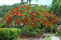 Port Douglas orange flower tree